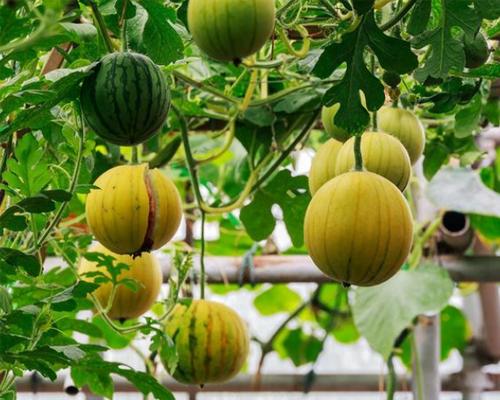 什么是槽式栽培