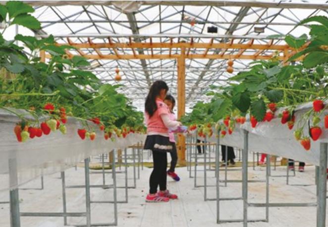 草莓高架栽培